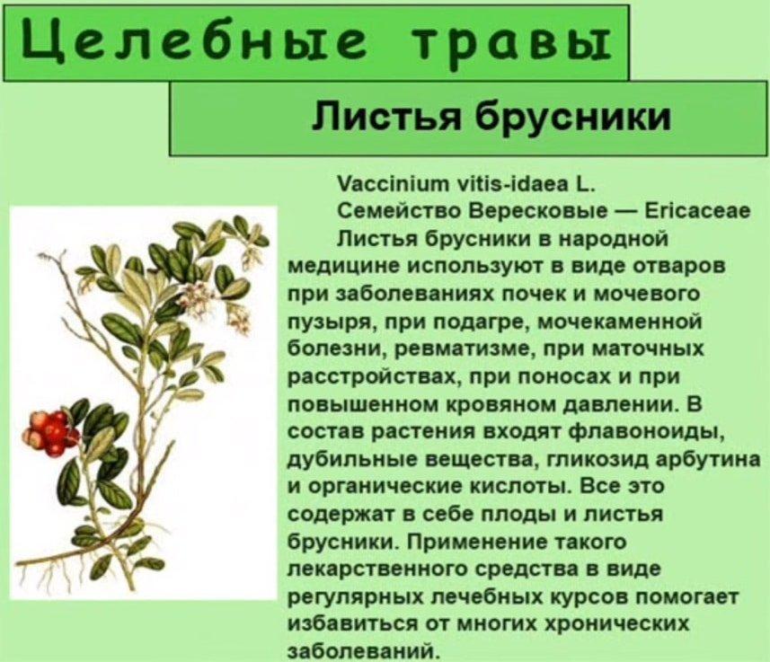 Листья брусники целебные свойства