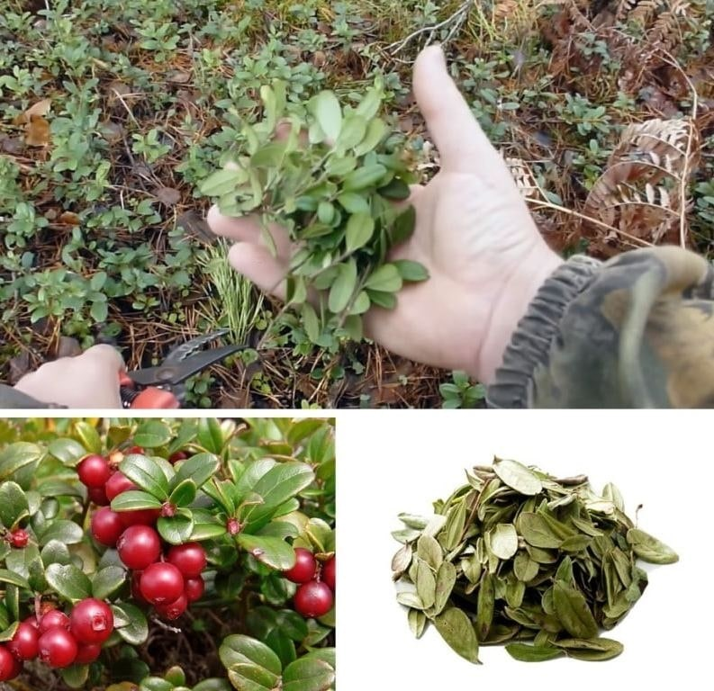 Сбор секатором листьев брусники в лесу