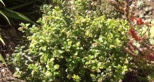 Взрослый куст в период цветения и созревания
