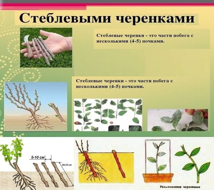 Разведение брусники стеблевыми черенками