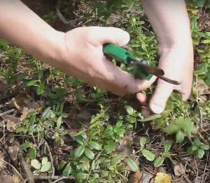 Заготовка брусничного листа